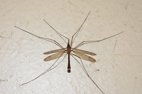 A crane fly, often mistaken for a giant mosquito, loiters in Ventura. The insects neither bite nor hunt mosquitoes.