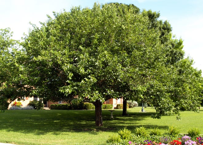 Do not remove a healthy mulberry tree until it shows signs of faltering. You might want to have a certified arborist look at the two trees to seek an opinion.