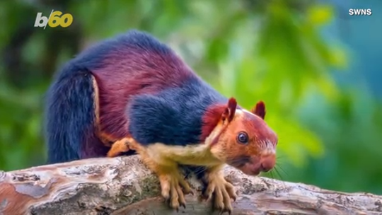 Photos of India's 'drop-dead gorgeous' Malabar squirrels have become a viral sensation