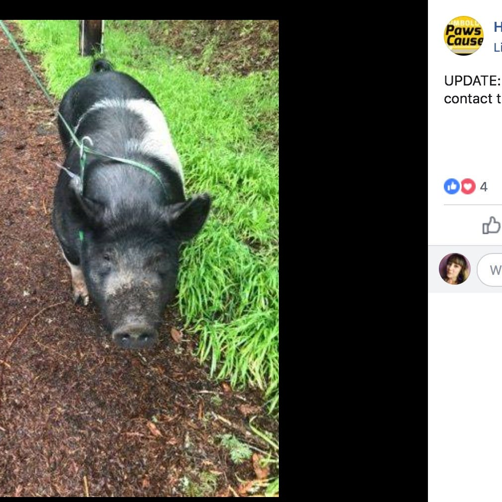Pet pig named Princess slaughtered by neighbor while police searched for owners