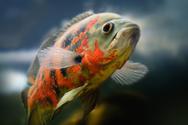 A stock photo of an Oscar fish