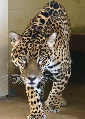 """Sonries means """"you smile"""" in Spanish. The name was given to the new 2-year-old jaguar introduced Wednesday  at the Abilene Zoo because of a smile pattern on his head."""
