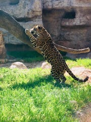 The 2-year-old jaguar Sonries was introduced at the Abilene Zoo on Wednesday.