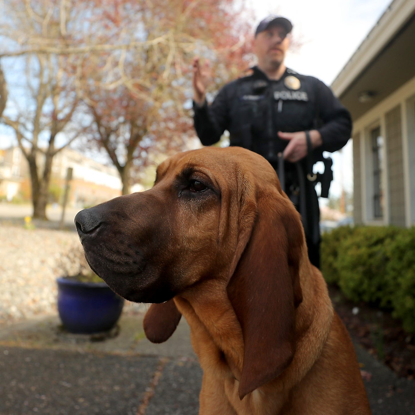 Meet K9 Whitney, a nosy new officer for the Bainbridge Island Police Department