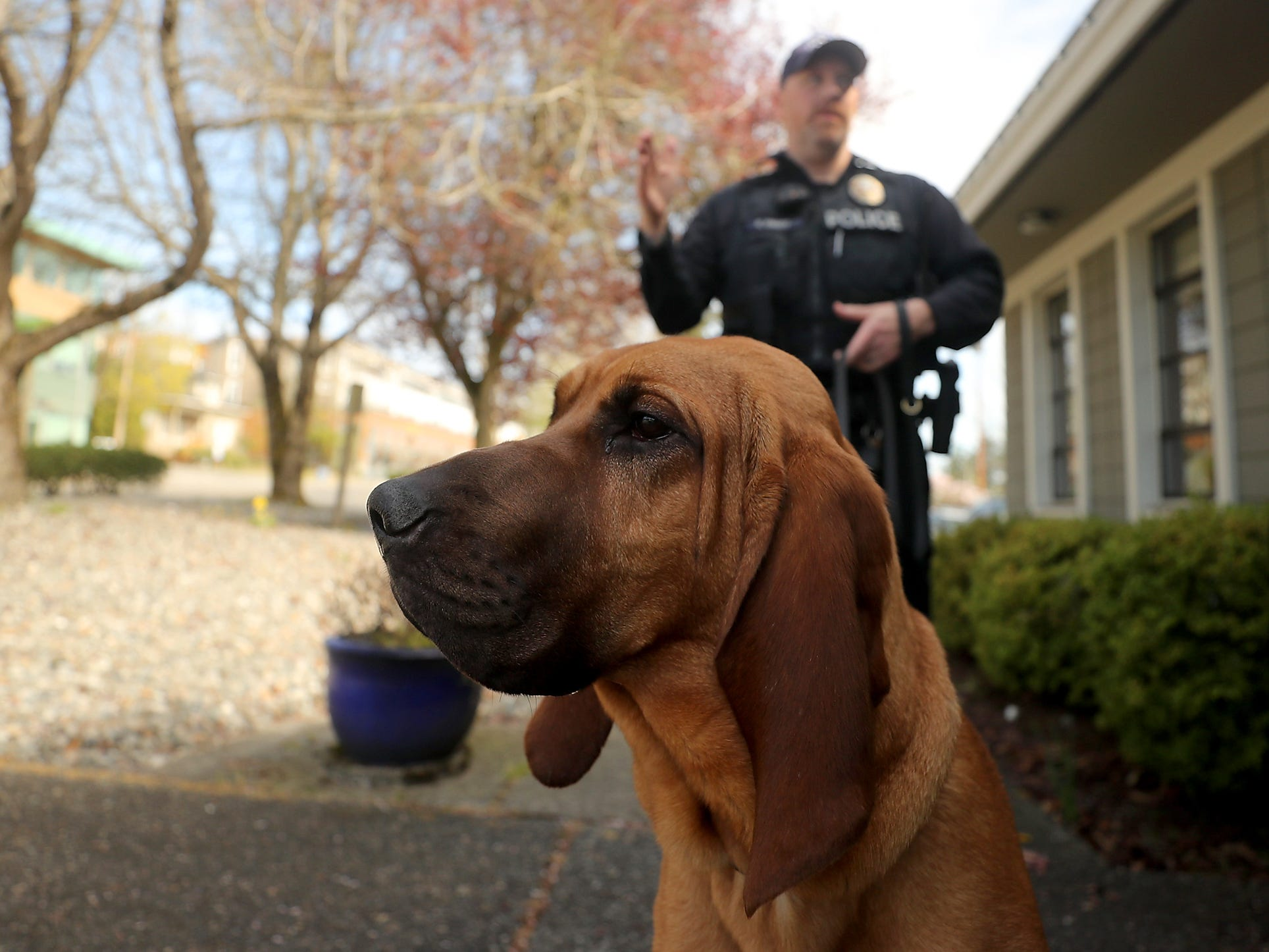 Bainbridge Island Police Department K9 Whitney, an 11-month-old bloodhound, watches cars and pedestrians as she stands outside of the police station with Officer Kurt Enget on Thursday, April 4, 2019.