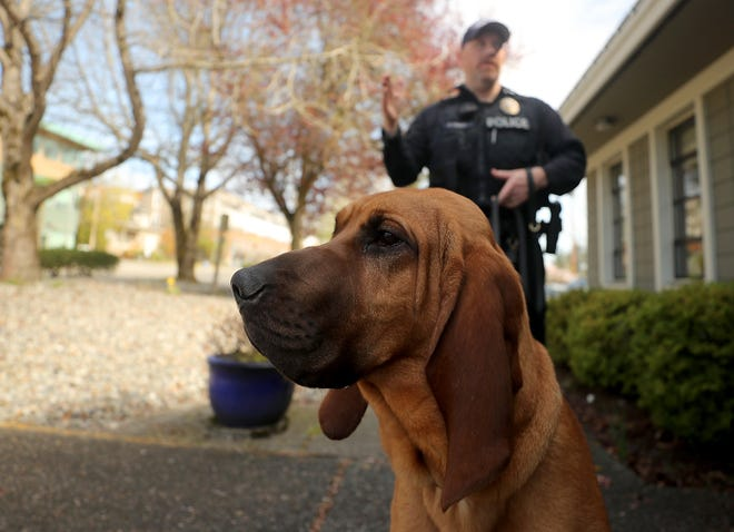 Bainbridge Island Police Department K9 Whitney, an 11-month-old bloodhound, watches cars and pedestrians as she stands outside of the police station with Officer Kurt Enget on Thursday.
