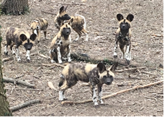 A littler of African painted dog pups and their mom are coming to the Cincinnati Zoo and Botanical Garden.