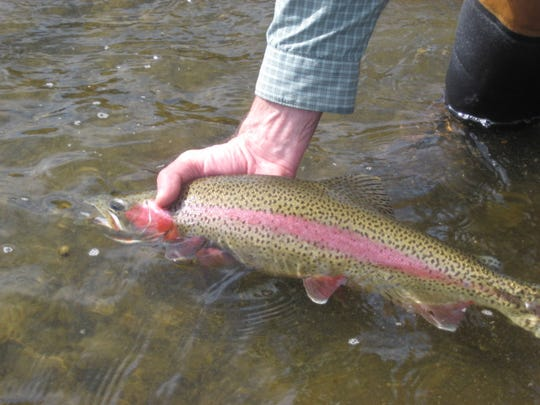 Wild rainbow trout breeding peaks from mid-April to mid-May.