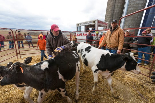 Cory Bidlingmaier (left) and Robert Hull maneuver calves in a pen during an auction March 30, 2019, at the farm of Paul and Marsha Ryan in Belleville, Wis.