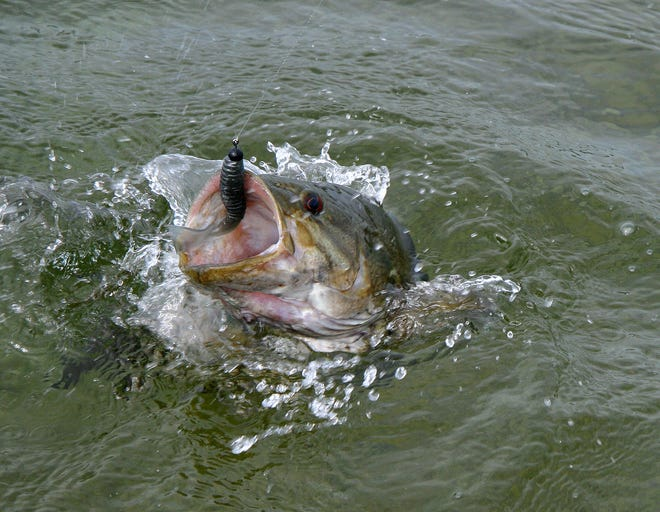 A smallmouth bass jumps on the end of an angler's line. The Wisconsin Smallmouth Alliance wants to protect the prized sport fish by keeping in place a closed season for part of the year in Wisconsin.