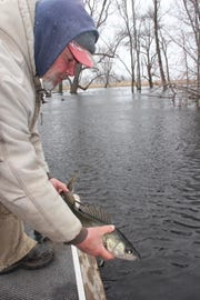 Bob Caryl releases a 24-inch female walleye, which was bearing eggs, after catching the fish on the Wolf River near Red Banks. Conservation-minded anglers release female walleyes to allow them to spawn.