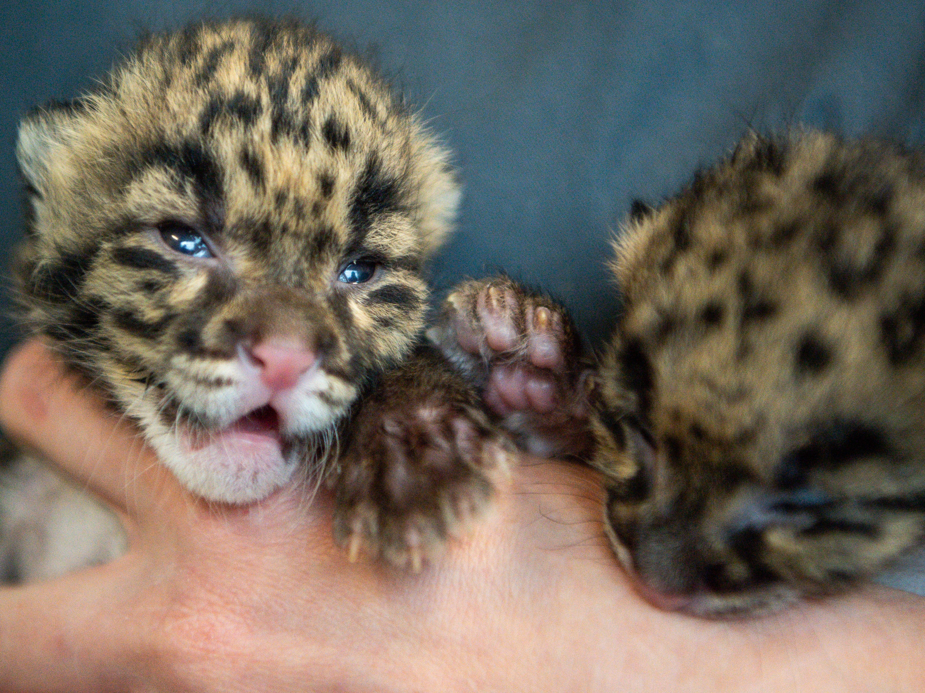 Two clouded leopard cubs move around in Director of Veterinary Services Heather Robertson's hands at the Nashville Zoo at Grassmere Friday, April 5, 2019, in Nashville, Tenn. The cubs' mother, Niran, was the first clouded leopard to be born from artificial insemination.