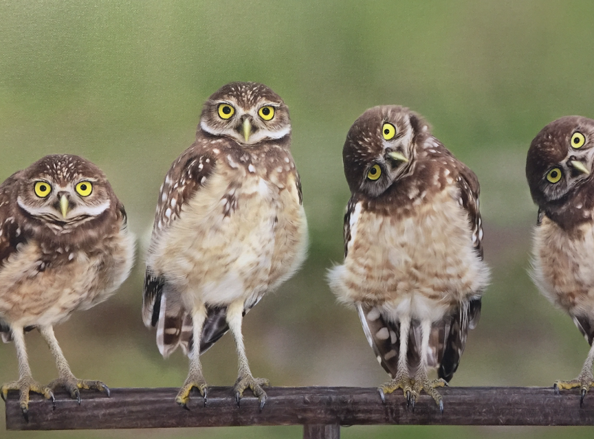 """""""Burrowing Owls""""  for Art Aid"""