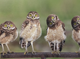 """Burrowing Owls""  for Art Aid"