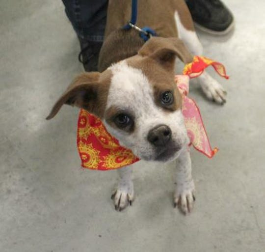 Leo is a neutered male, 6-month-old, Boston Terrier/Boxer Mix.
