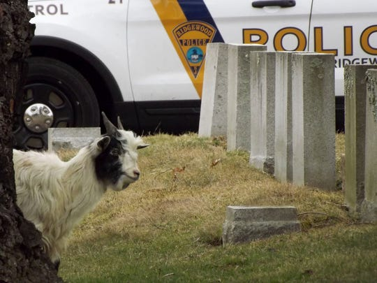 Incident occurred at the Valleau Cemetery, 546 Franklin Turnpike, Ridgewood on Friday morning, 04/05.  A goat had been left in the cemetery abandoned in a box by an unknown individual. Captured by Ridgewood PD and Tyco Animal Control.