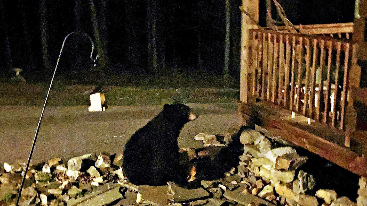 Hellam Twp Family Watches And Films As Black Bear Snacks On