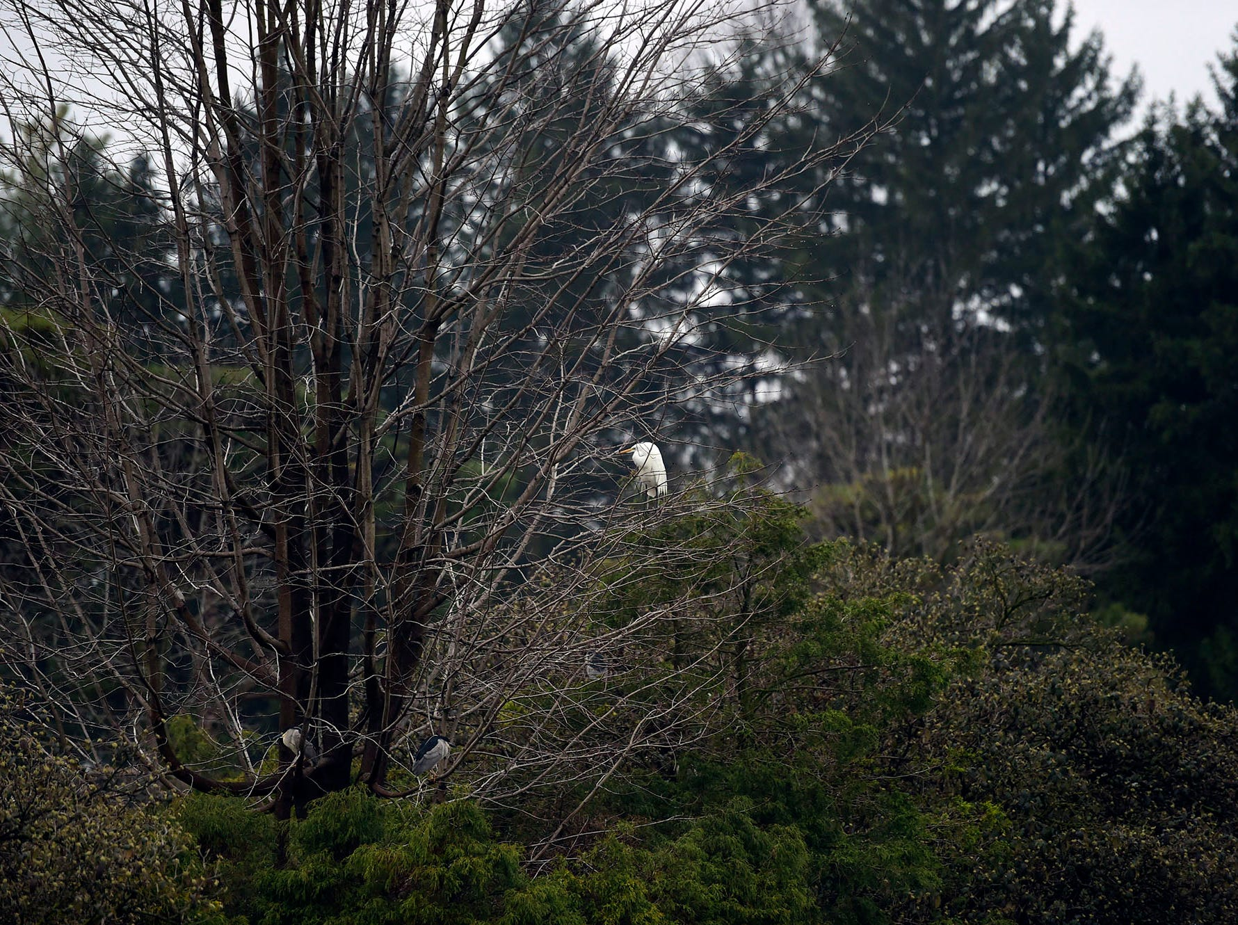 A great egret, in the center, and night herons perch in a tree above Kiwanis Lake early Saturday morning April 6, 2019. Both species are listed as endangered in Pennsylvania.