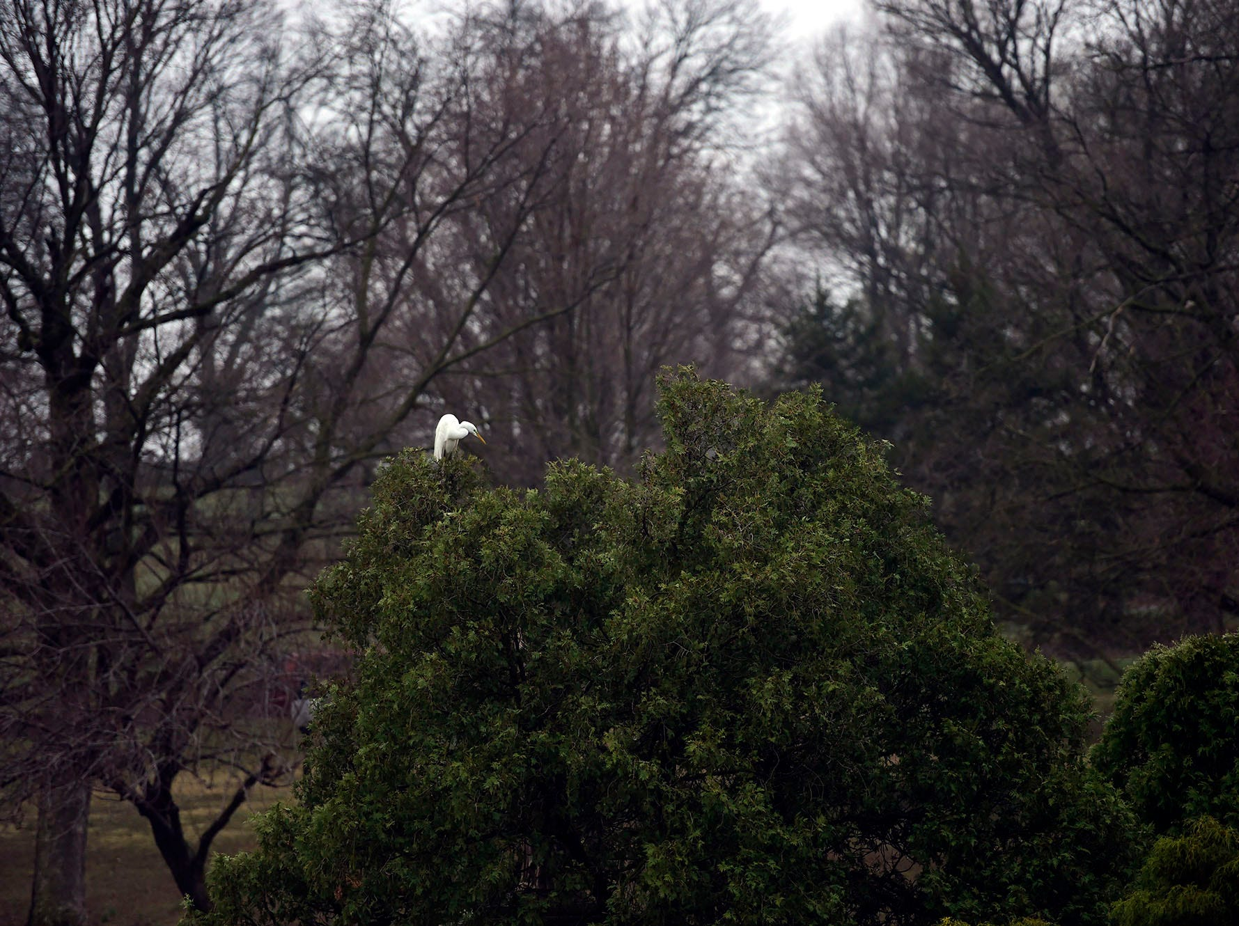 A great egret perches on a treetop at Kiwanis Lake in York Saturday, April 6, 2019.