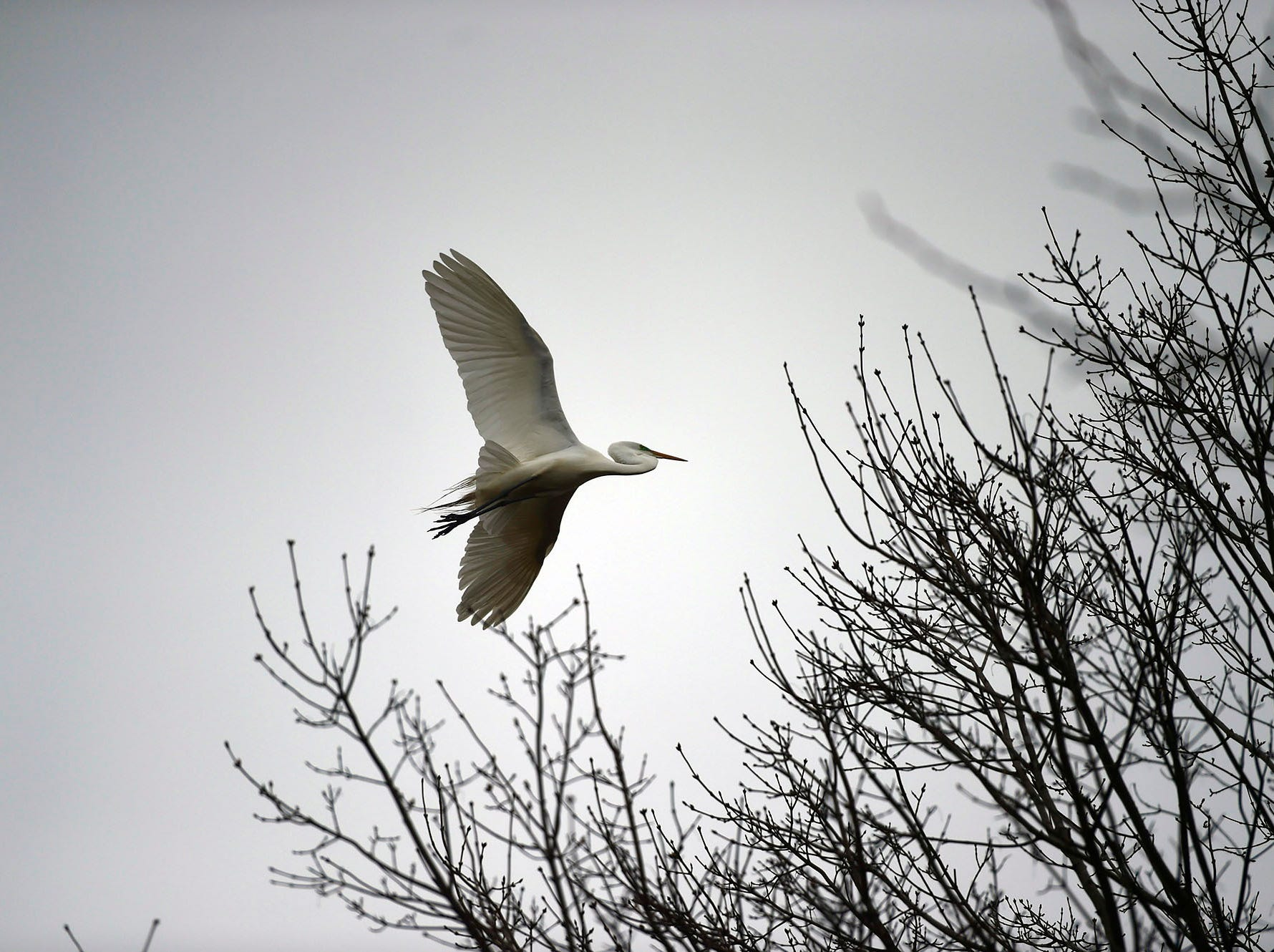 A great egret flies above the trees around Kiwanis Lake in York Saturday, April 6, 2019.