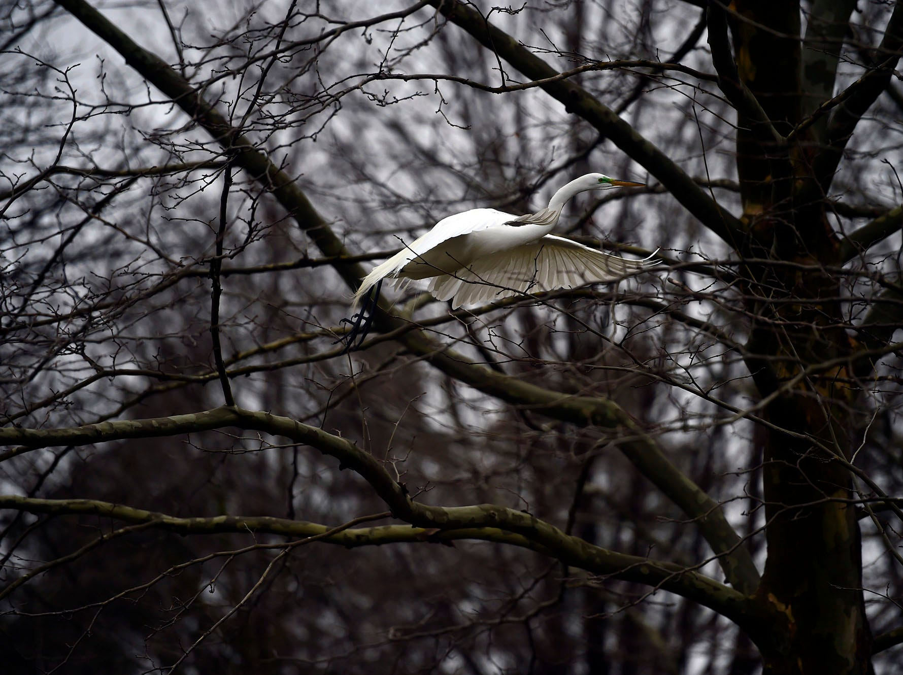 A great egret takes off from a tree overlooking Kiwanis Lake in York Saturday, April 6, 2019.