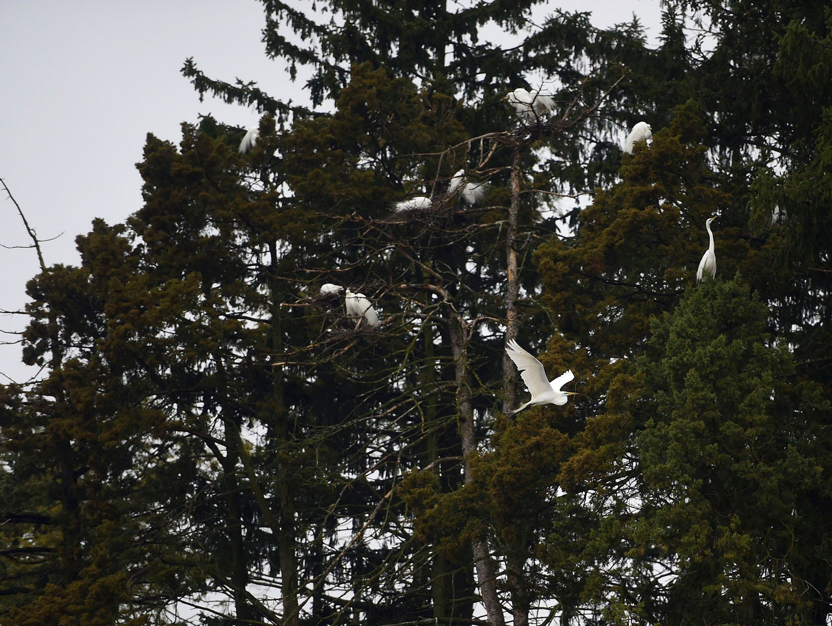 More than seven great egrets gather in the trees surrounding Kiwanis Lake in York. Great egrets will nest at Kiwanis Lake close to yellow-crested night-heron. The Pennsylvania Game Commission has said its the only place in the state where the two species will nest so close together.