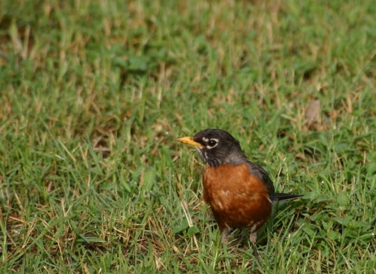 The American robin can be found in every state of the Union at least part-time.