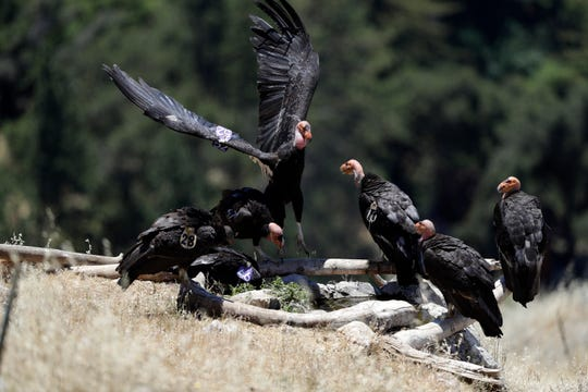 In this June 21, 2017, photo, California condors huddle around a watering hole in the Ventana Wilderness east of Big Sur.