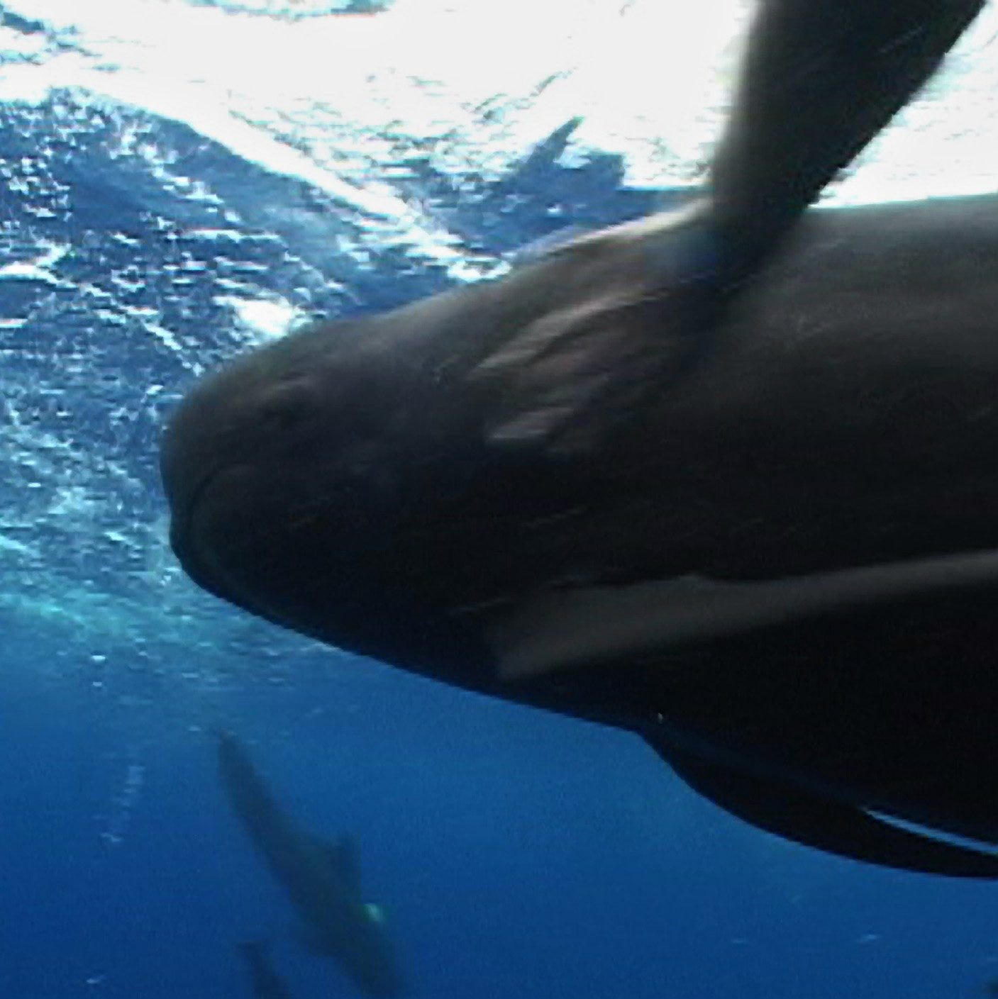 Rescued pilot whale 'Fredi' dies at SeaWorld Orlando after long illness