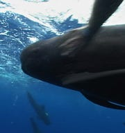 FILE- A pilot whale swims with divers off the Florida Keys