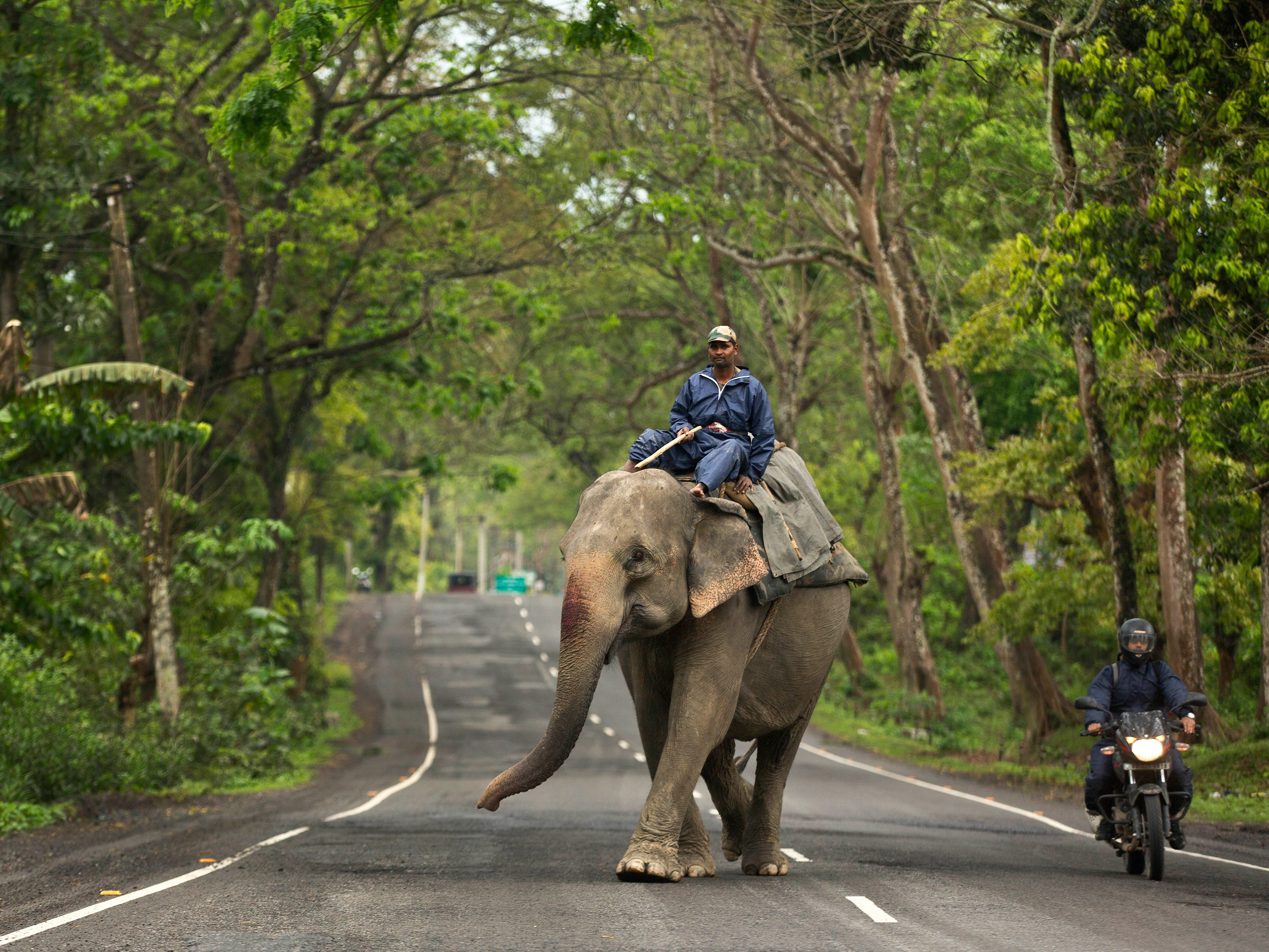 An Indian Mahout leads a forest department elephant through a national highway near Kaziranga national park in Golaghat district, Assam, India, Sunday, April 7, 2019.