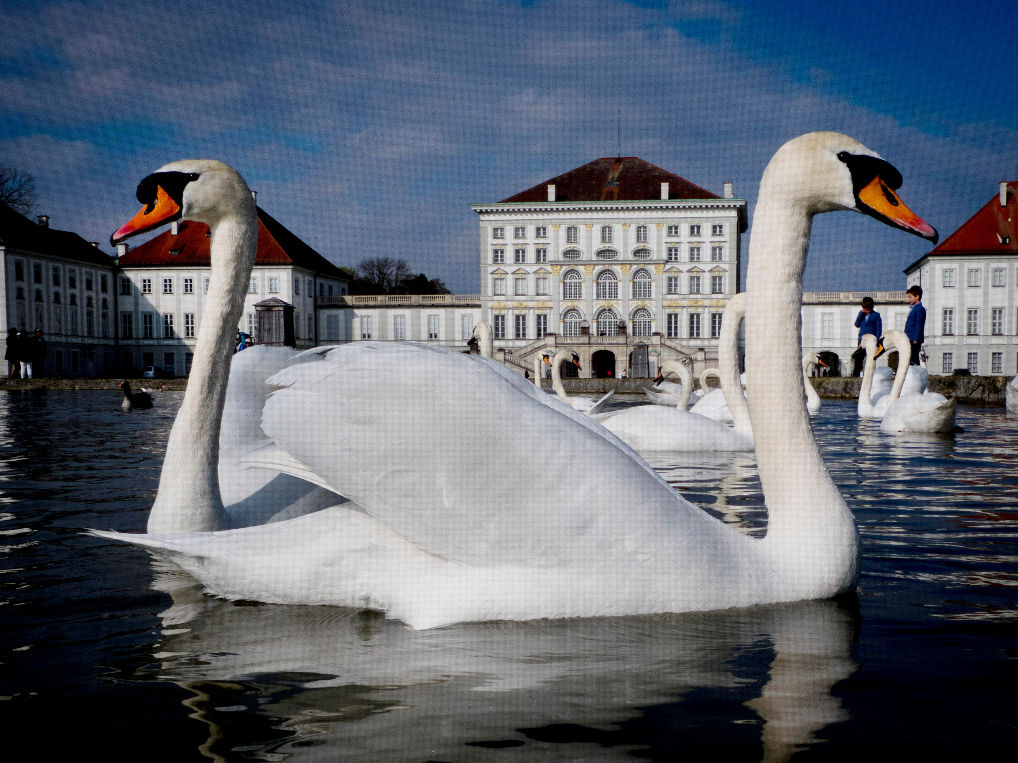 Swans glide over a small pond in front of the Nymphenburg Castle in Munich, southern Germany, on a warm Sunday, April 7, 2019.