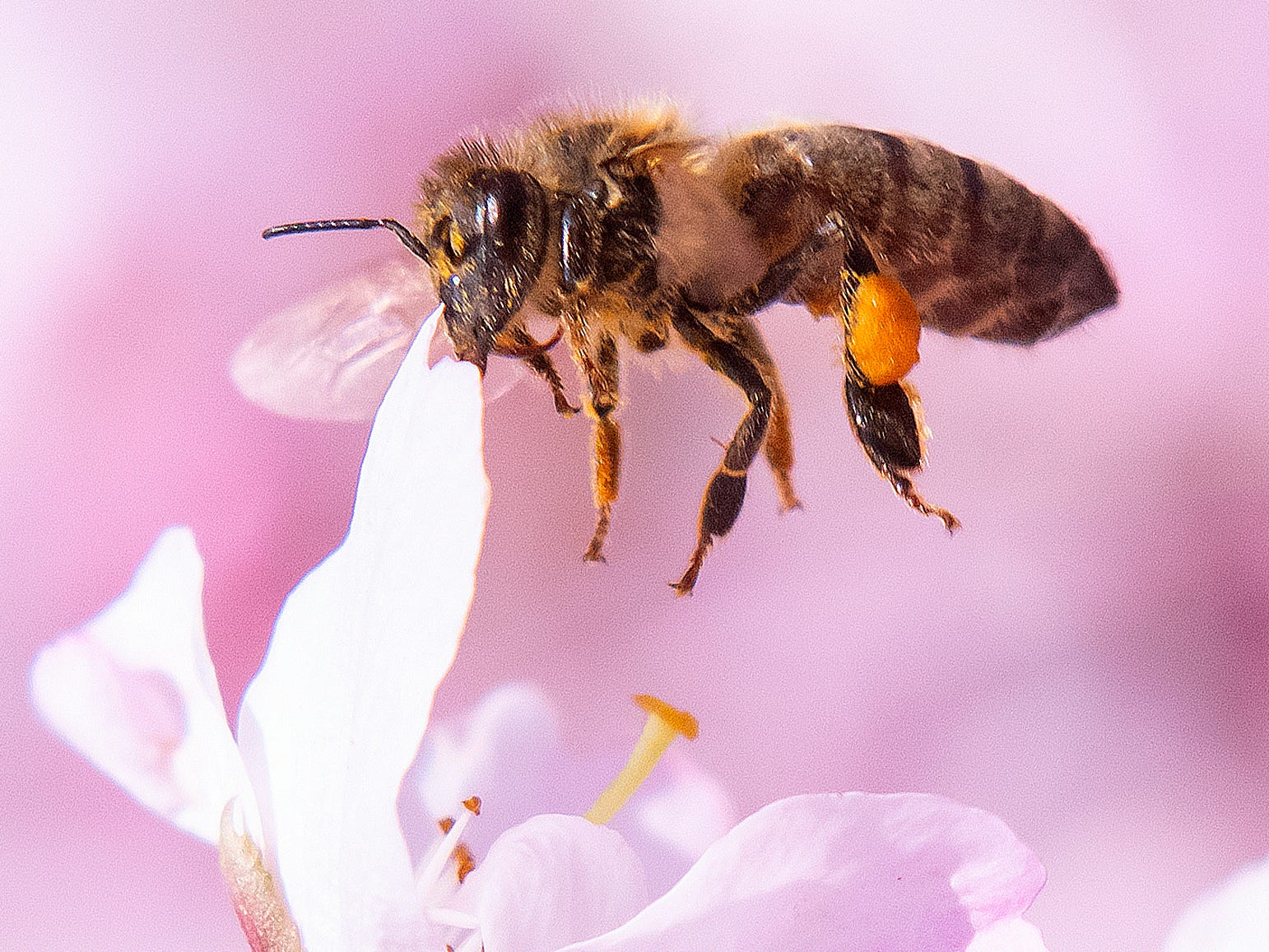 A bee lands at blossoms of flowering cherry trees during springlike temperatures in Erfurt, Germany, Sunday, April 7, 2019.