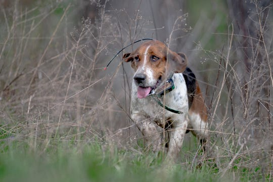 A foxhound runs through a meadow during a fixture at Blackberry Ridge Farm in Greeneville, Tennessee on Saturday, March 30, 2019.