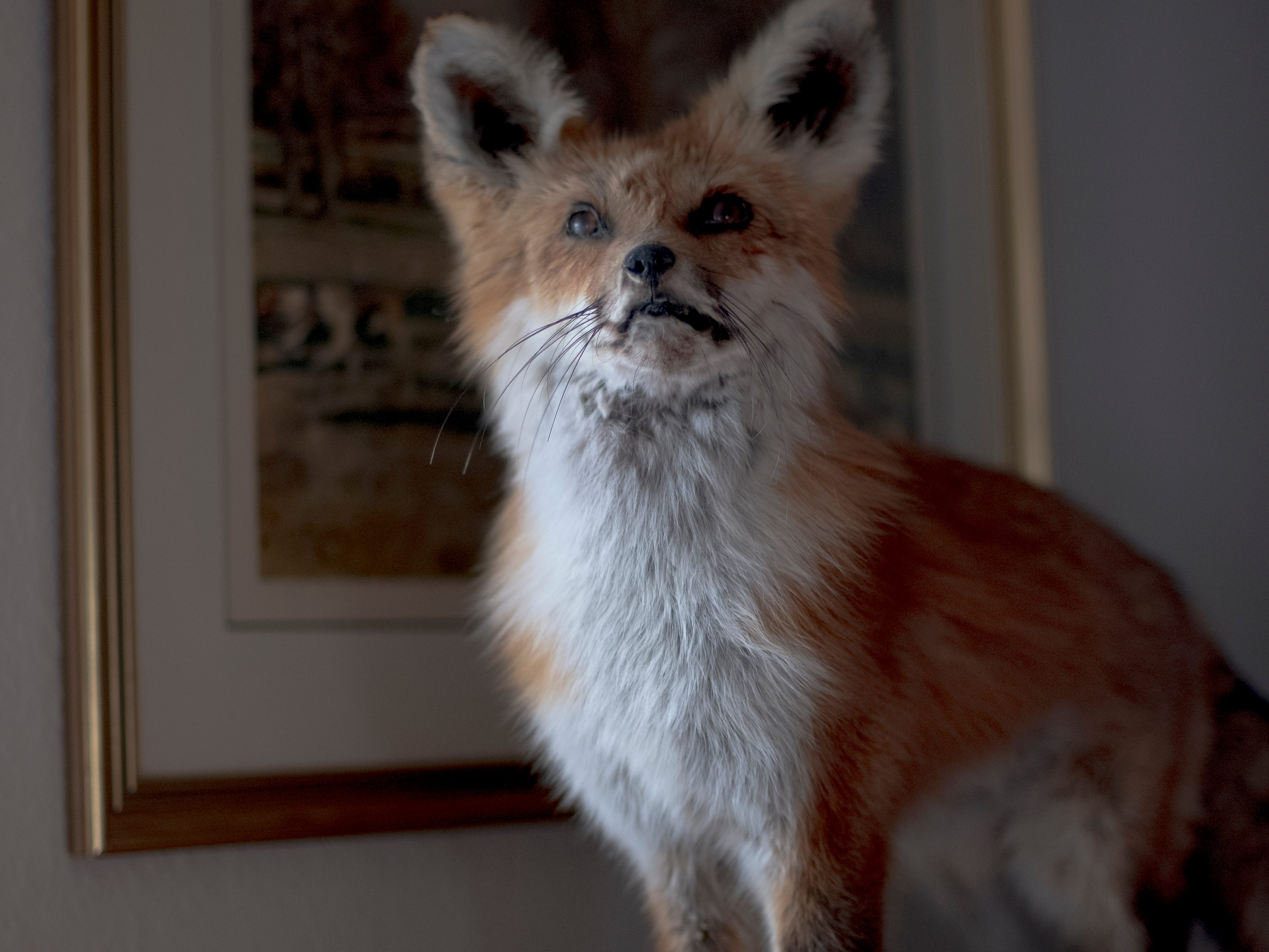 A mounted stuffed red fox is seen in the horse barn of Tracy and Debbie Dobbs at Blackberry Ridge Farm in Greeneville, Tennessee on Saturday, March 30, 2019.