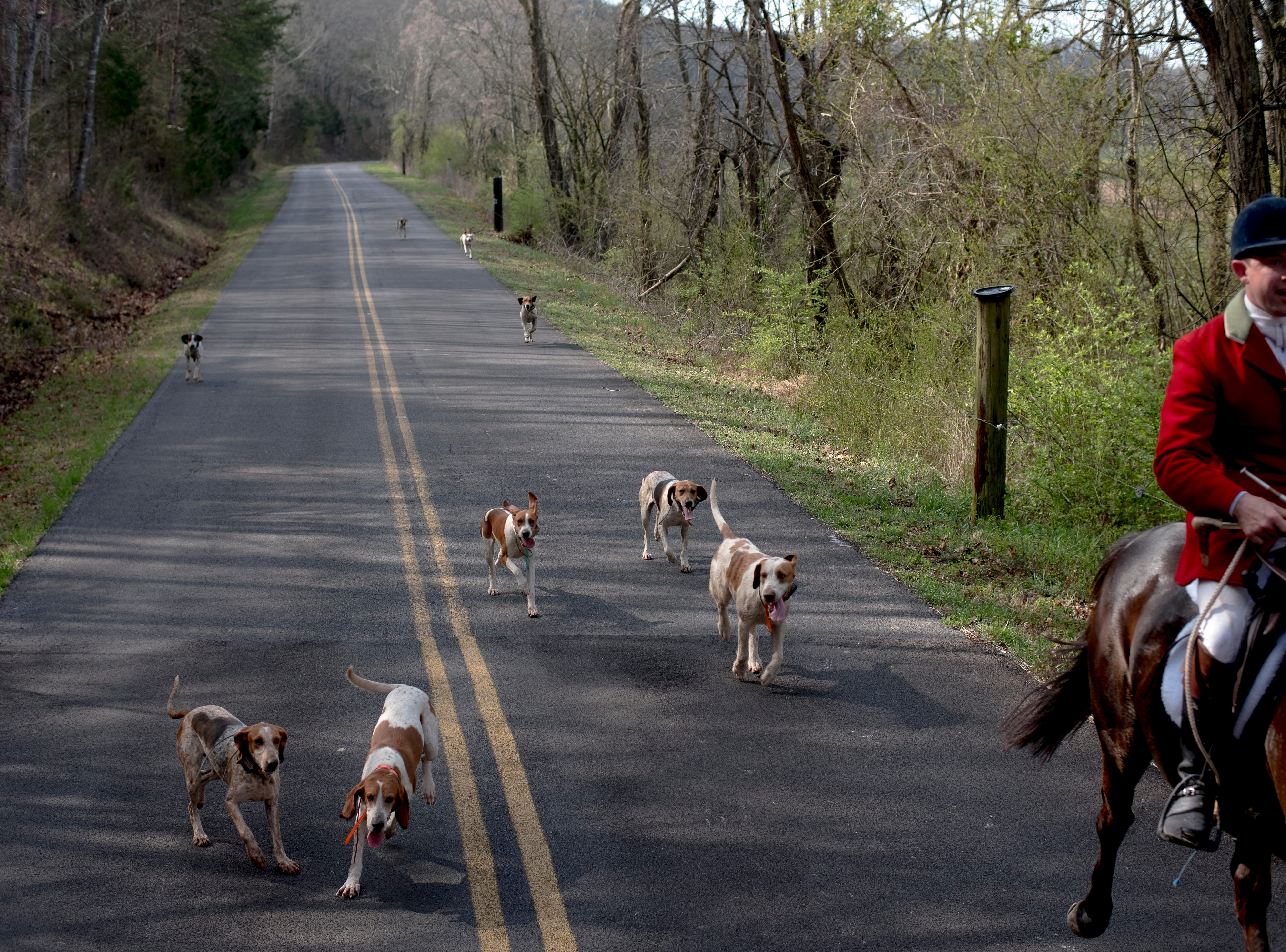 Foxhounds follow TVH Master Huntsman Ryan Johnsey down a road during a fixture at Riverplains Farm in Strawberry Plains, Tennessee on Wednesday, March 27, 2019.