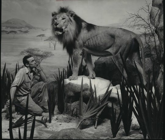 Sim, an African lion cub, was brought to the Milwaukee Public Museum in 1929 when a team from the museum found him burned and hungry following a grass fire in Africa. Sim lived for a few months at the museum before moving to the Washington Park Zoo where he died in 1943. Sim is on display in the Milwaukee Public Museum. Taxidermist Walter Pelzer (left) looks over his handiwork in this undated photo.