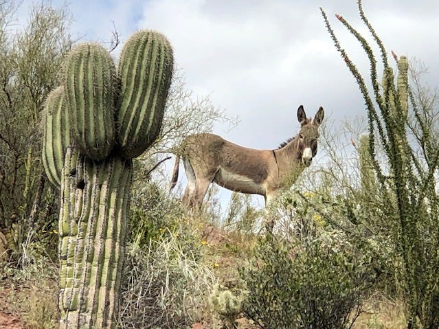 He just stood there watching us, as we were driving to explore Humbug, Arizona.