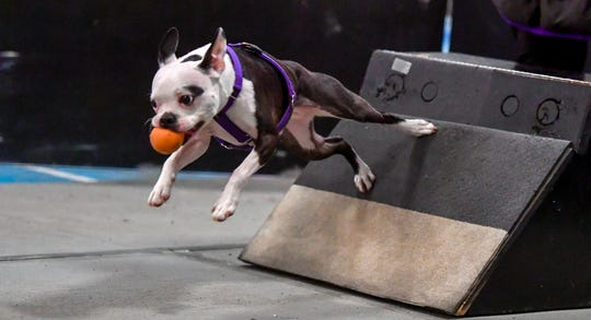 Cookie Monster, a deaf Boston terrier, makes the turn off the ball box as more than 40 teams compete in the Clean Break Flyball tournament at the Yellow Breeches Sports Complex in New Cumberland, Sunday, April 7, 2019.John A. Pavoncello photo