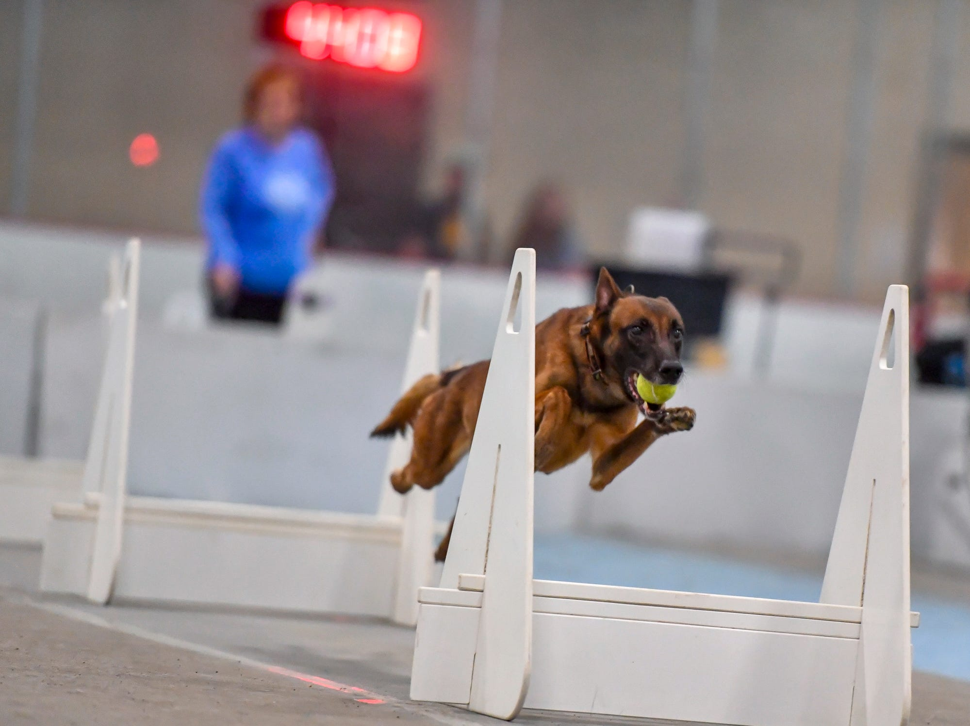 Vega, a Belgium malinois, clears a jump while heading to the finish line as more than 40 teams compete in the Clean Break Flyball tournament at the Yellow Breeches Sports Complex in New Cumberland, Sunday, April 7, 2019. John A. Pavoncello photo