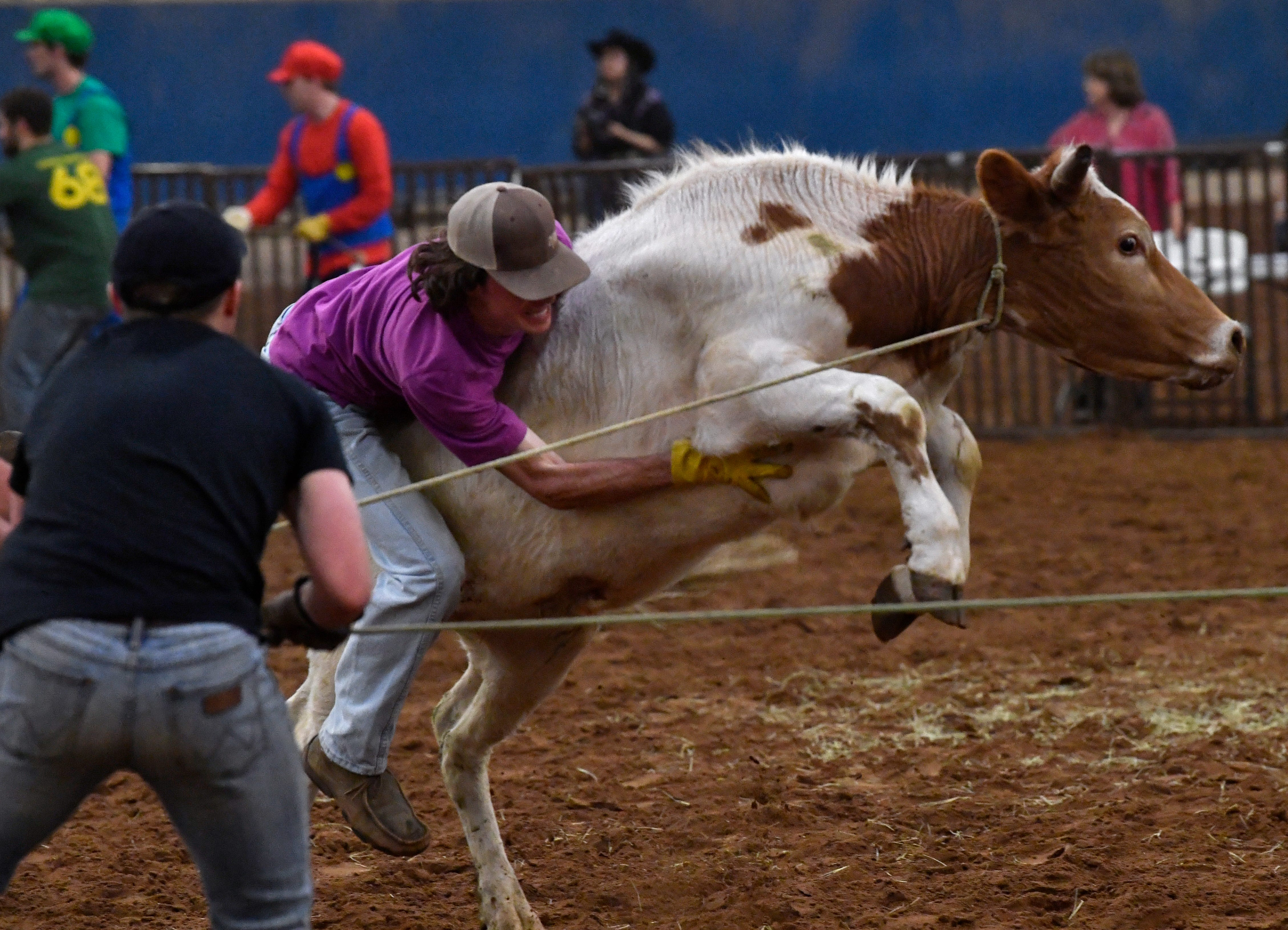 Luke Fender tries to ride a steer during Thursday's ACU Intramural Rodeo. Teams had to control their steer, then allow one of their number to climb on the animal's back and ride it across the arena.