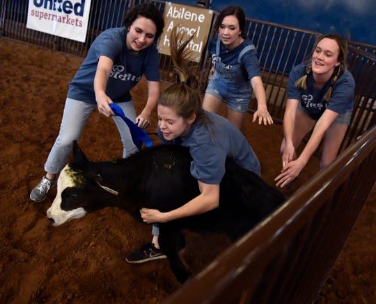 Members of Sigma Theta Chi try to tie a ribbon on a calf during Thursday's Abilene Christian University Intramural Rodeo. The rodeo pitted ACU social clubs against each other in events such as the calf scramble, goat dressing and steer riding.