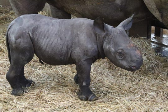 The rhino calf was born Friday, April 5, and was walking and nursing within about hours — signs of a healthy baby, the zoo said.