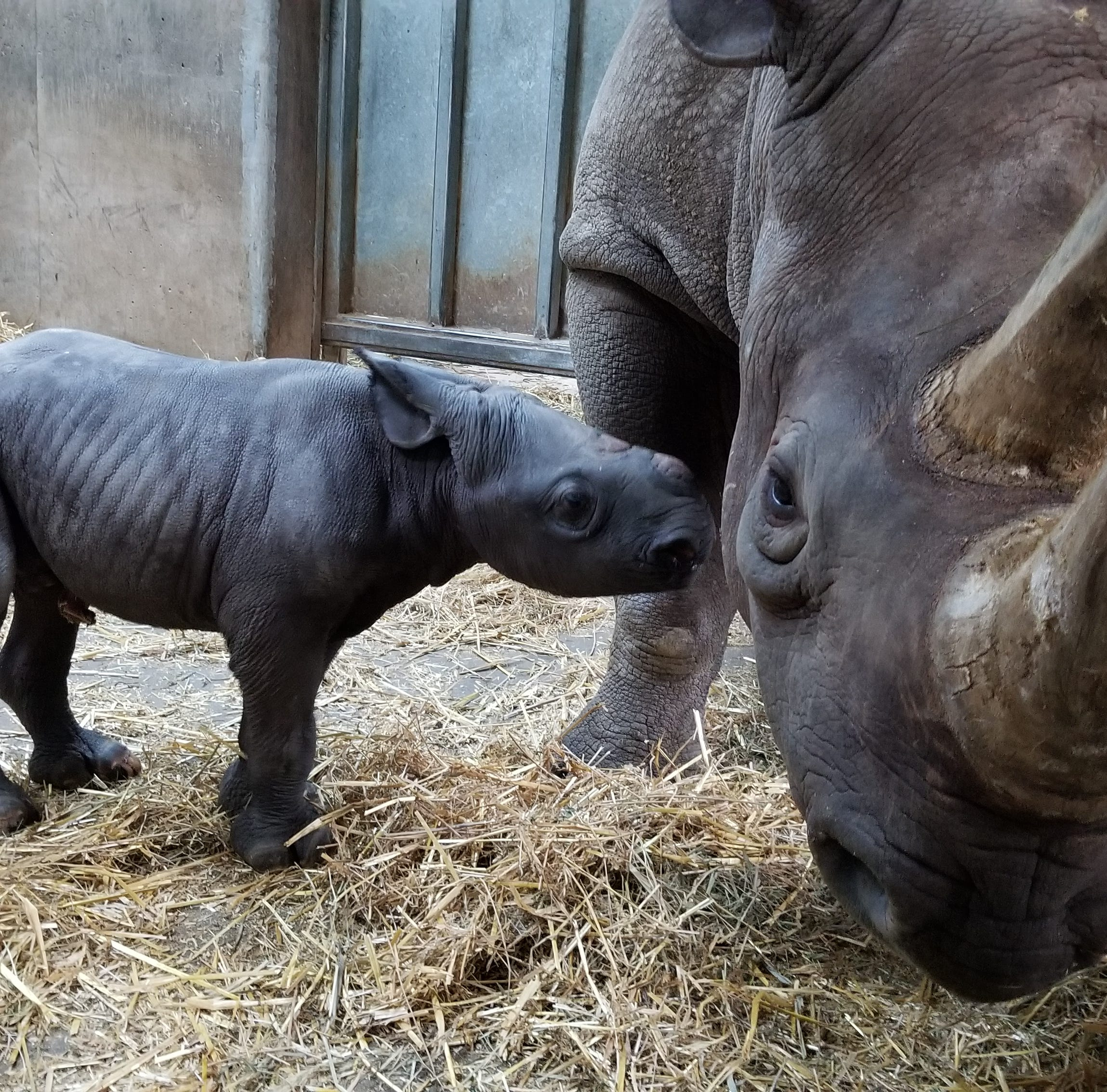 Blank Park Zoo's family of endangered eastern black rhinos just grew by 112 pounds