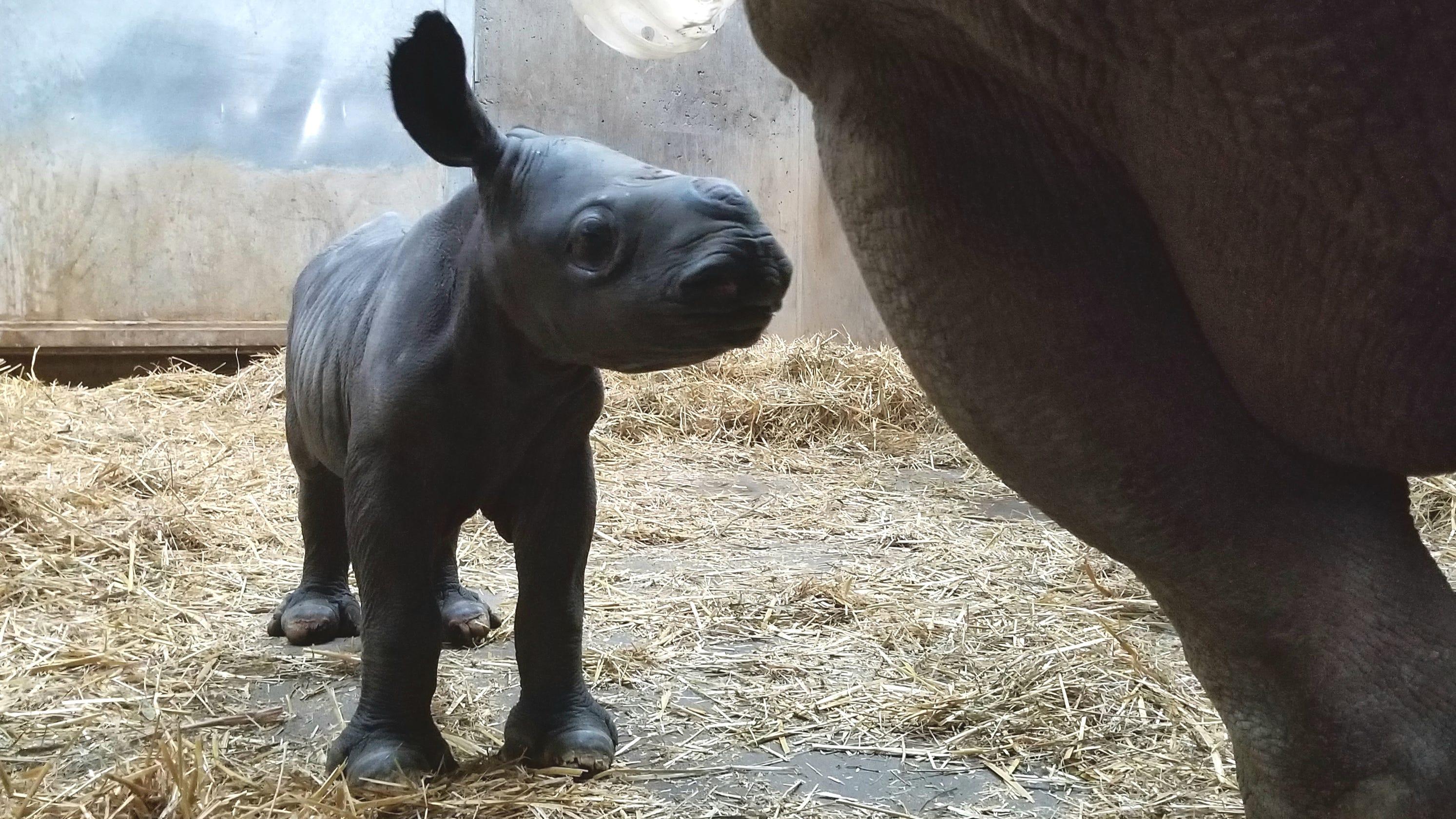 Blank Park Zoo's newest rhino calf finally has a name