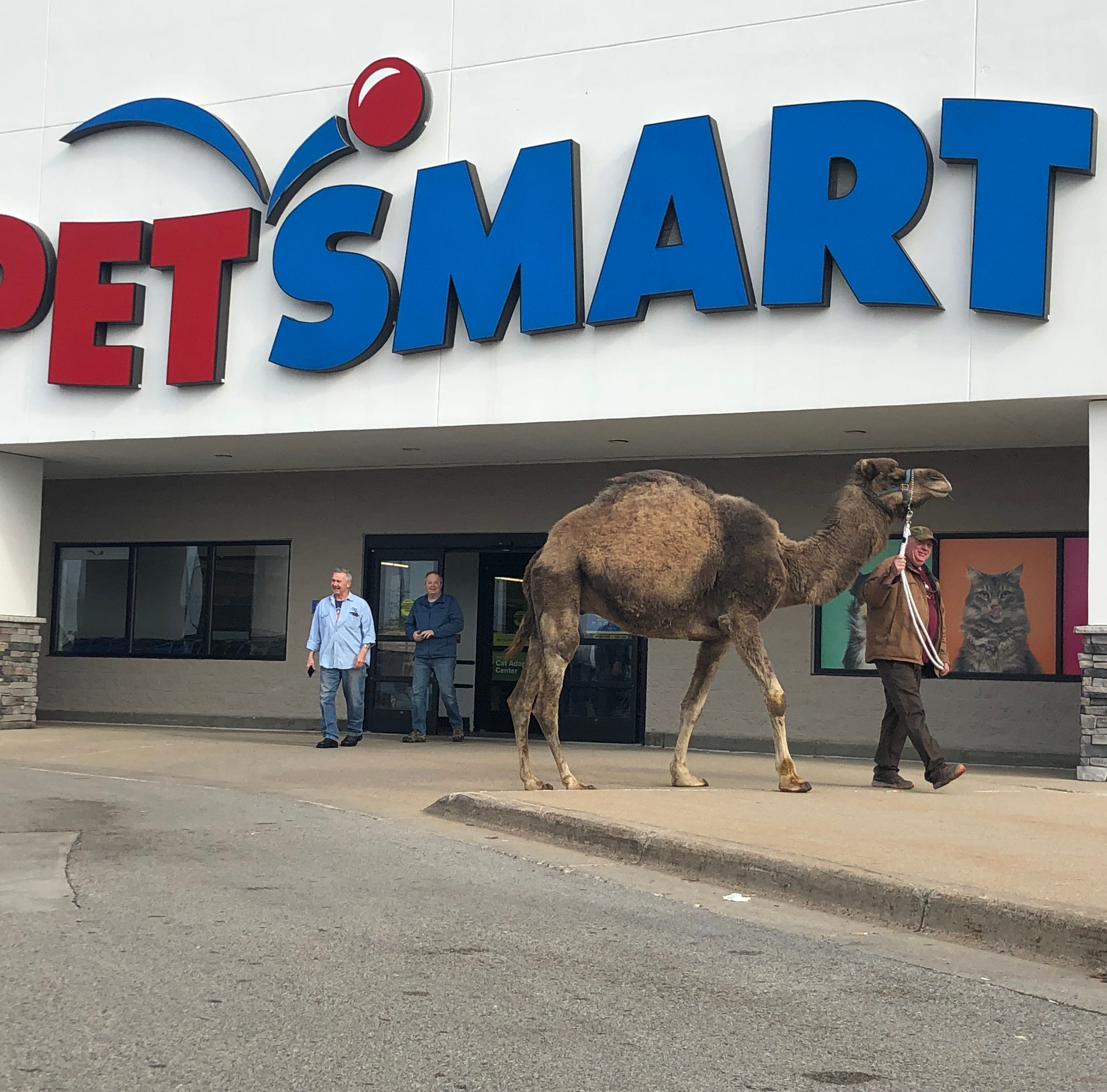 Camel spotted wandering aisles of Michigan PetSmart store
