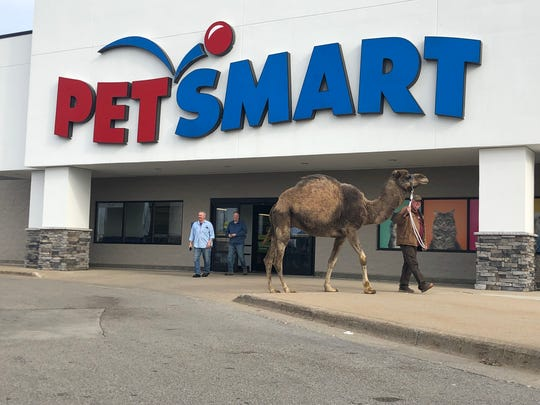 Jeffrey, a 12-year-old camel, makes a stop at a PetSmart in Muskegon on Sunday to help promote his owners' farms and petting zoo.