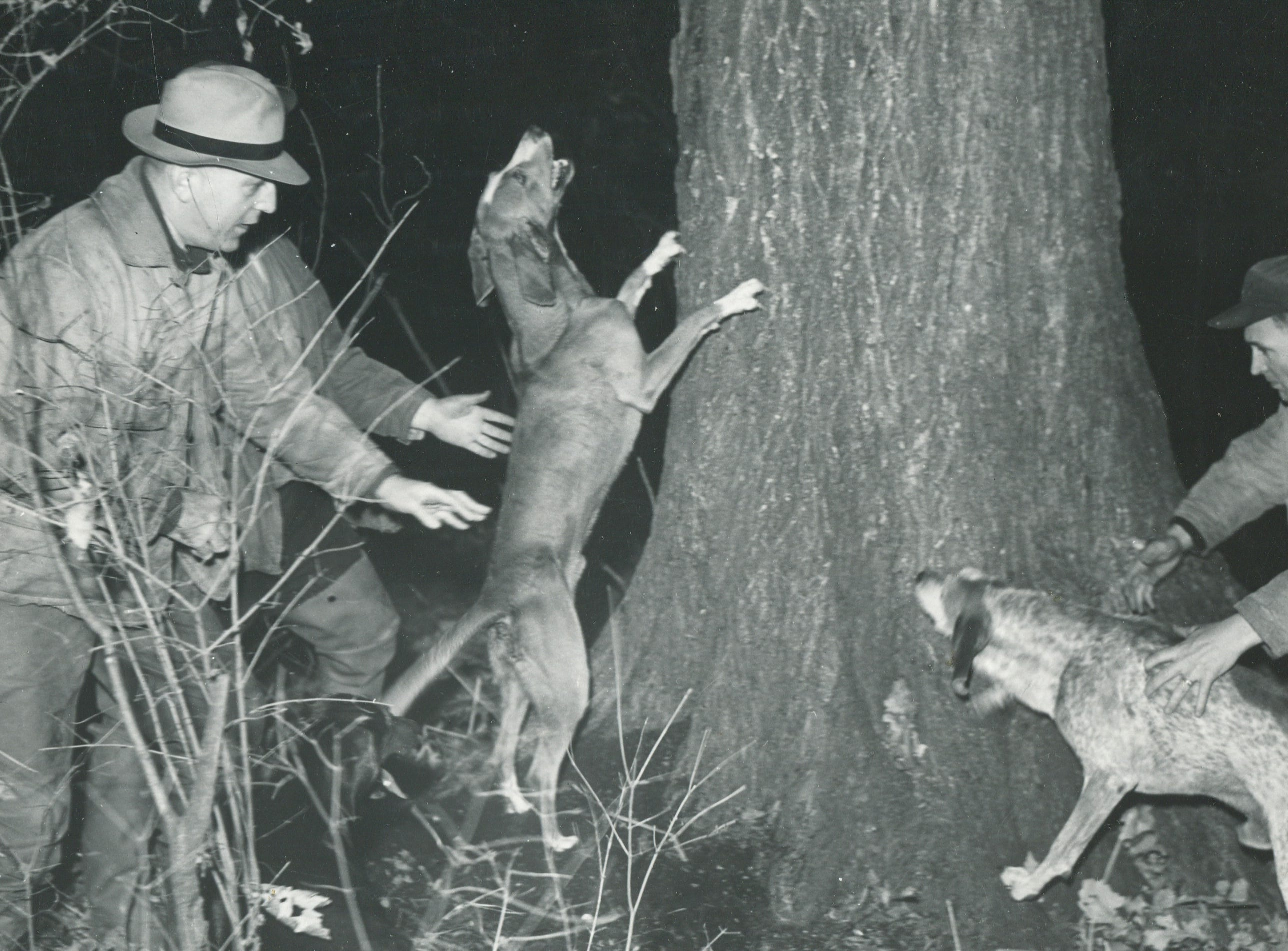 Dogs tree a raccoon for hunters in Michigan in November 1944.