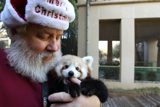 December 17, 2012 - Louie Bell holds Justin, a young red panda, inside his display area in Cat Country. Bell began at the Zoo in 1971. (Mike Brown/The Commercial Appeal)