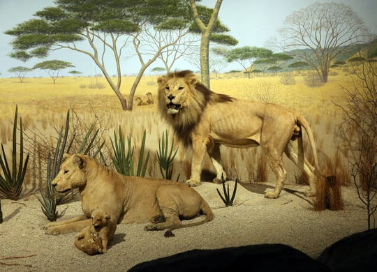 Simba the lion (standing) is part of the Savanna Bush African diorama on the third floor of the Milwaukee Public Museum (shown in a 2015 photo). The lion was brought to Milwaukee as a cub and, for a few months in 1929, it lived in the building housing the Milwaukee Public Library.